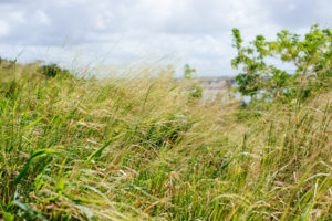 grass blowing in wind, moss image, travel, cuba